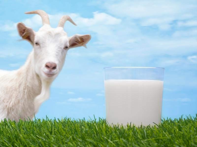 Разрешено ли пить молоко тем, у кого прогрессирует подагра или нет